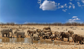 Large herd of elephants at a waterhole with a vibrant blue sky in Etosha National Park, Namibia Stock Photos