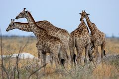 Large herd of giraffe Giraffa camelopardalis Royalty Free Stock Photography