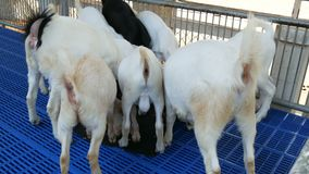Large herd of goats eat grain in an enclosure. A large herd of goats eat grain in an enclosure stock video footage