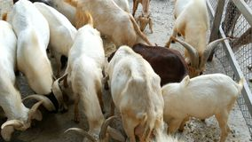 Large herd of goats eat grain in an enclosure. A large herd of goats eat grain in an enclosure stock video