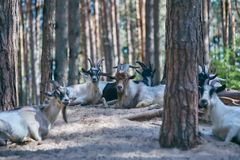 A herd of goats. the leader is serious. Pine forest. A large herd of goats lies on a hill in the forest. The leader of the herd is very serious stock image