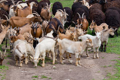 Large herd of goats and sheep on the green grass Stock Photos