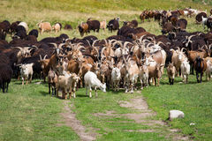 Large herd of goats and sheep on the green grass Stock Photo