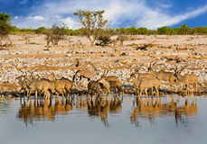 Harem of GreaterKudu drinking from a waterhole with  vibrant blue sky background in Etosha National Park, Namibia Royalty Free Stock Image