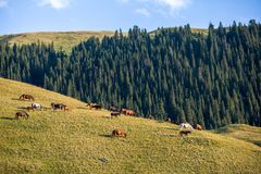 Large herd of horses grazing at sunset. In mountains royalty free stock photo
