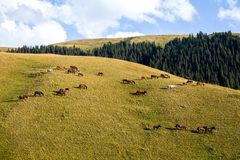 Large herd of horses on the hill Royalty Free Stock Image