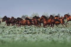 A large herd of horses of Hutsul breed. Horses galloping in the grass royalty free stock photo