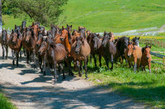 Large herd of horses running on a meadow Stock Image