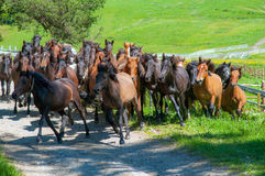 Large herd of horses running on a meadow Royalty Free Stock Photo