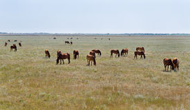 Herd of grazing horses Royalty Free Stock Photography