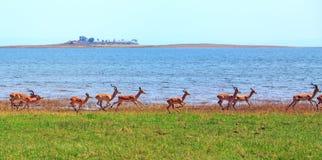 Large herd of Impala run along the shore of Lake Kariba. A line of Impala running along the shoreline of Lake Kariba in Bumi National Park, Zimbabwe stock image