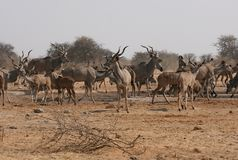 Large herd of Kudu at waterhole Royalty Free Stock Photo