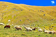 Large herd of mutton grazing in a meadow in the mountains Royalty Free Stock Images