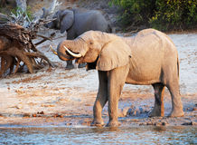 Large Herd Of African Elephants Royalty Free Stock Image