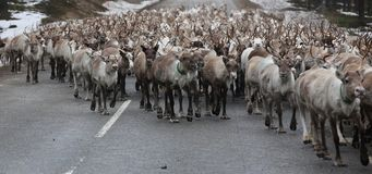 Large herd of reindeer on the street in Scandinavia.  stock photography