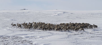 Large herd of reindeer in the winter tundra Royalty Free Stock Image
