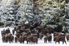 A Large Herd Several Dozen Heads Of Wild European Brown Bison  Bison Bonasus   Enters The Pine Forest Along The Snow-Covered F Stock Photography
