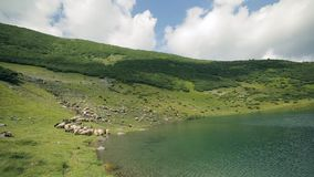 A large herd of sheep graze on the slope of the Carpathian Mountains near the lake stock video