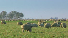 Large Herd of Sheep Grazing in a field stock footage