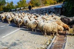 Large herd of sheep at morning time autumn, Georgia royalty free stock image