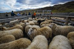 Large herd of sheeps Iceland stock images