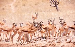 Large herd of Springbok (Antidorcas marsupialis) Stock Photo