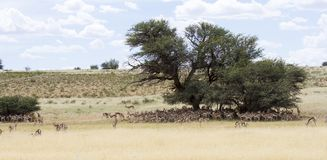 Large herd of springbok resting in the shade of  big camelthorn Royalty Free Stock Image