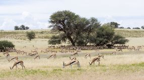 Large herd of springbok resting in the shade of  big camelthorn Stock Photography
