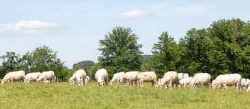 Large herd of white Charolais beef cattle grazing in a grassy pa Royalty Free Stock Photo