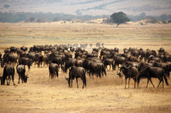A large herd of wild beasts Grazing, Serengeti National Park, Tanzania. The wildebeests, also called gnus, are a genus of antelopes, Connochaetes. Total safari Royalty Free Stock Photo