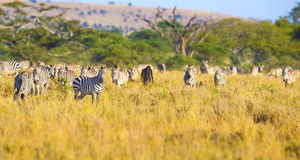 Large herd of zebras eating grass in Serengeti Africa Royalty Free Stock Images