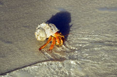 Large hermit crab. Hermit crabs (Coenobita sp.) on the water edge Stock Photos