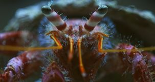 Large hermit crab in the water macro stock video