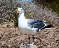 Large Herring Gull Looking at Camera. Large Herring Gull standing on a post looking at the camera royalty free stock images