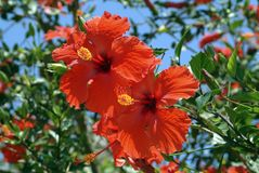 Large hibiscus shrub with double red trumpet-shaped flowers stock images