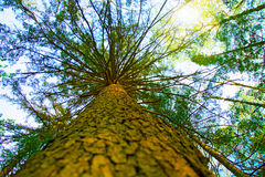 Large, high pine, bottom-up view, beautiful tree bottom view. Sunny day Stock Images