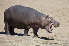 Large hippo bull walking on the bank of river Stock Photography