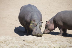 Large hippo bull walking on the bank of river Stock Photo