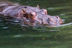 Hippo in water. Large hippo glides effortlessly through the water royalty free stock photos