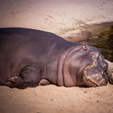 Large hippo laying in the sand. Hippopotamus is a large omnivoro Stock Photos