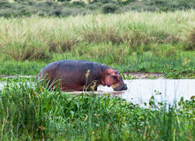 Large hippo standing in water  Royalty Free Stock Image