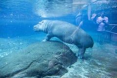 Large Hippo underwater in San Diego Zoo Animal Habitat Enclosure. Large Hippo Hippopotamus amphibius semiaquatic mammal native to Sub Saharan Africa under water Stock Photography