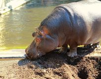 Large hippopotamus near river Royalty Free Stock Photography