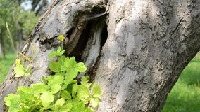 Large Hollow of a Tree stock footage