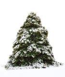 Large Holy Tree Isolated on White Royalty Free Stock Image