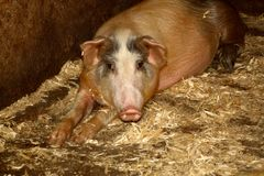 Home pigs with a flat patch Royalty Free Stock Photo
