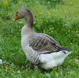 A large homemade gray goose grazes on a background of green grass with yellow dandelions. royalty free stock images