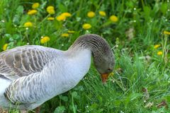 A large homemade gray goose grazes on a background of green grass with yellow dandelions. stock image