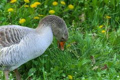 A large homemade gray goose grazes on a background of green grass with yellow dandelions. royalty free stock photo