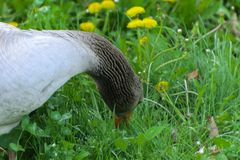 A large homemade gray goose grazes on a background of green grass with yellow dandelions. stock photography